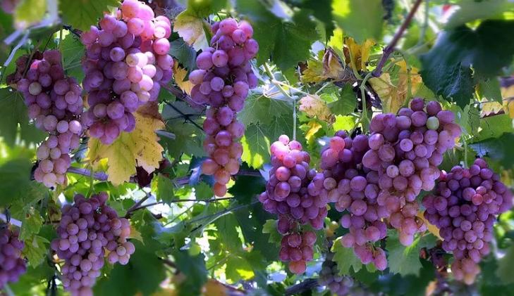 颗颗葡萄满枝头,晶莹剔透喜丰收
