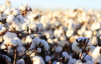新疆棉花施优旺,个大桃多丰收在望